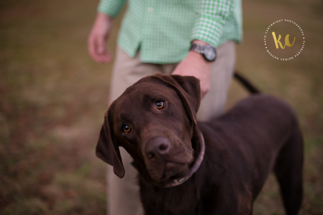 Chocolate Lab Senior Pictures